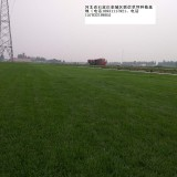 井陉便宜草坪 草皮早熟禾高羊茅价格