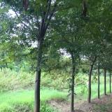 12公分榉树批发价格 浙江榉树多少钱一棵