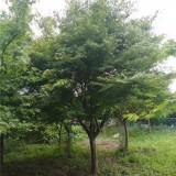 鸡爪槭基地  8公分批发价格