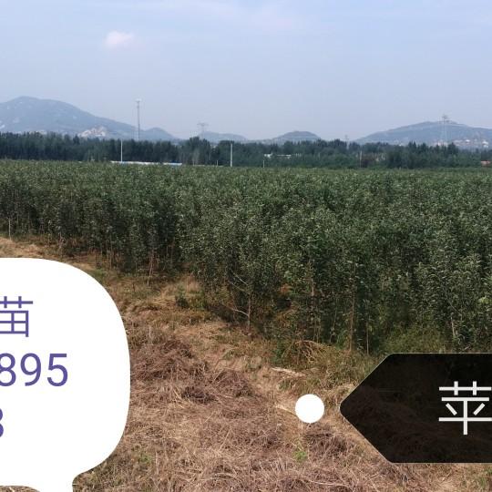 1公分烟富111苹果苗新品种多少钱一棵