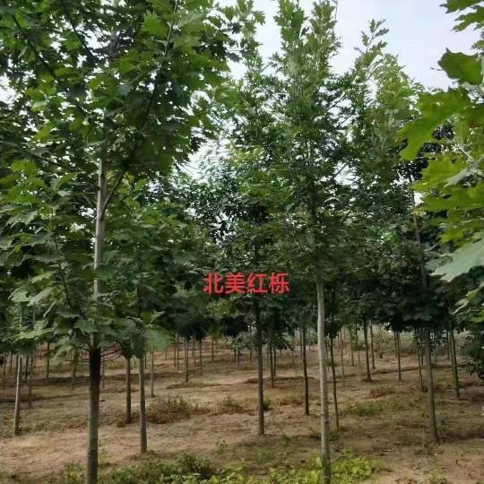 3公分北美红栎多少钱一棵 山东北美红栎价格