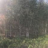5公分白桦树价格
