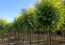 2-10公分金叶复叶槭