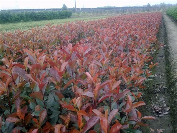 50公分红叶石楠价格 江苏红叶石楠多少钱一棵