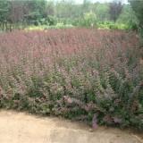 50公分紫叶小檗报价 红叶小檗产地直销