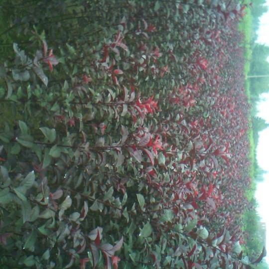1.5米高紫叶李价格 基地供应