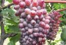 2年葡萄苗多少钱 大型葡萄苗销售基地