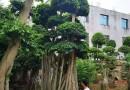高5米榕树桩价格 福建榕树桩哪里卖