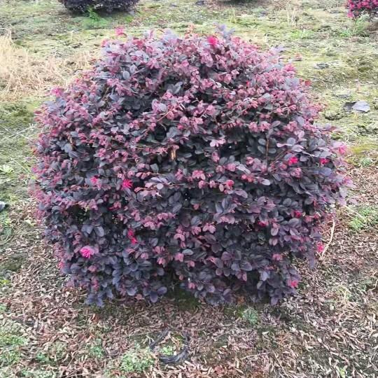 成都红花继木球1米2米价格低便宜农户直销
