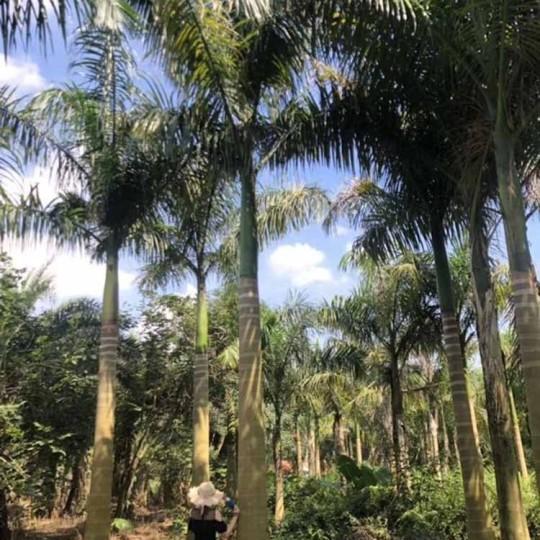 5米大王椰子价格 福建大王椰子基地直销