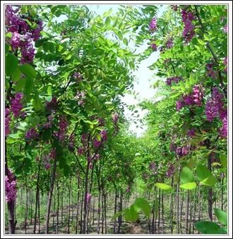 大规格香花槐哪里有 泰安基地大量供应