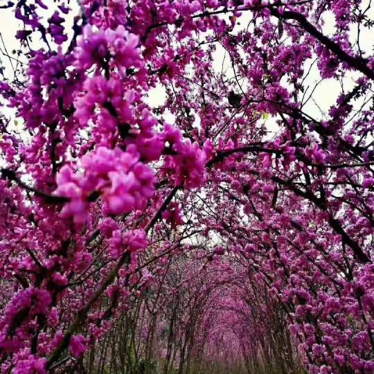 2米3米丛生紫荆巴价格 丛生紫荆巴基地