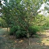 7公分日本早樱批发报价 日本早樱种植基地