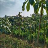 高2米七叶树价格 江苏七叶树多少钱一棵