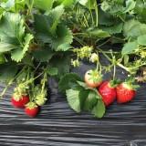 章姬红颜甜宝草莓苗出售 章姬红颜甜宝草莓苗基地