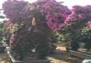 8公分紫薇树苗价格 紫薇基地批发