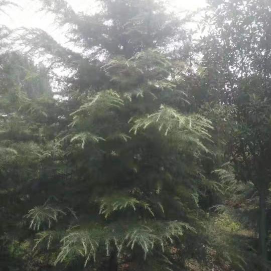 成都雪松3米 5米成都雪松报价低便宜农户直销好树形