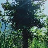 枫香基地 江西枫香 9公分枫香树价格