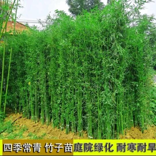 四季竹苗多少钱一棵 四季竹基地批发价格