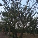 45公分丛生朴树价格 丛生朴树销售基地