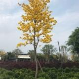 多花、少花黄花风铃木8-20公分移植容器苗