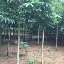 5公分七叶树价格 洛阳七叶树多少钱一棵