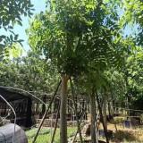 15公分腊肠树价格  腊肠树基地直销