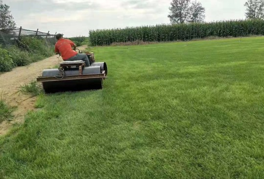 早熟禾草坪 多种草坪批发