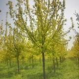 金叶复叶槭哪里卖 12公分金叶复叶槭价格