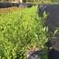 小叶栀子大袋苗出售 福建小叶栀子大袋苗哪里卖