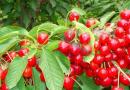 红阳猕猴桃苗
