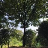 8公分榉树价格 江苏榉树批发基地