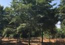 6公分榉树价格 江苏榉树基地
