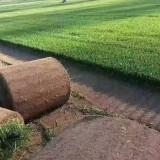 河北高羊茅草坪基地批发 高羊茅多少钱
