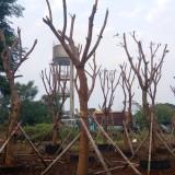 4.5米高玉蕊树基地直销 玉蕊树去哪买