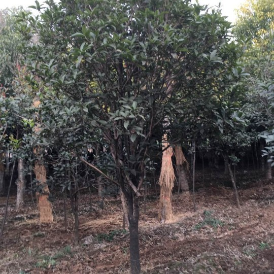 桂花树价格  桂花树直销基地