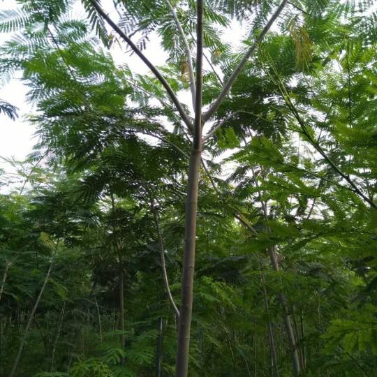 合欢树价格  江苏合欢树基地在哪