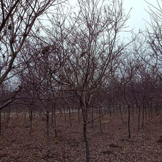 日本红枫价格 江苏日本红枫基地