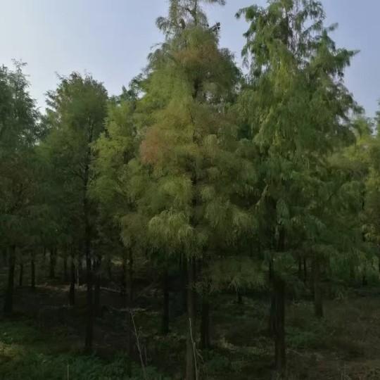 水杉树报价 江苏水杉树基地
