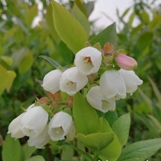 蓝莓苗价格 蓝莓苗多少钱一棵
