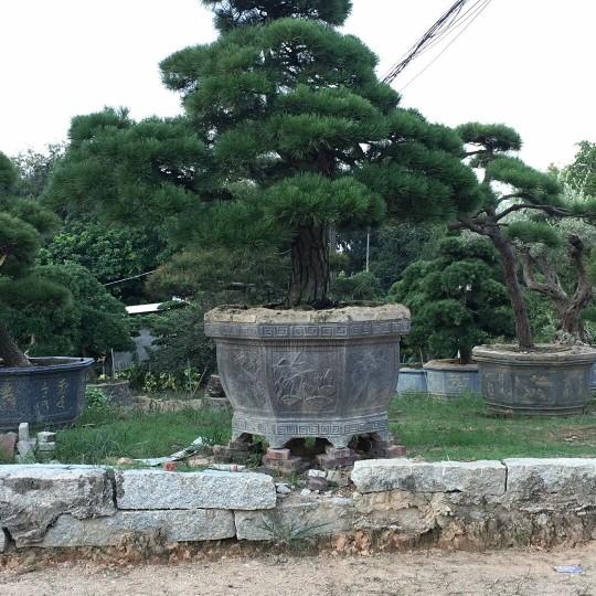 福建进口黑松,精品造型黑松,日本歪脖子黑松,
