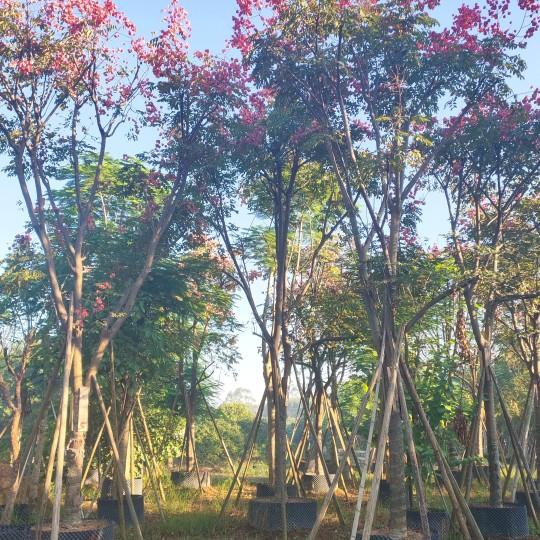福建国庆花树,摇钱树,灯笼树,黄山栾树,各种规格大量批发