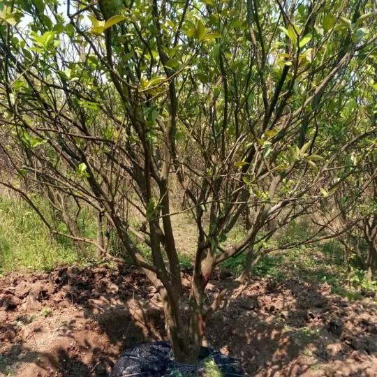 四川成都15公分香泡树柚子价格  香泡树柚子树价格