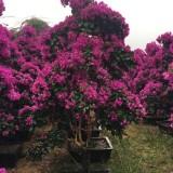 紫花三角梅多少钱 紫花三角梅哪里有卖