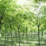 8公分榉树价格 湖北榉树基地