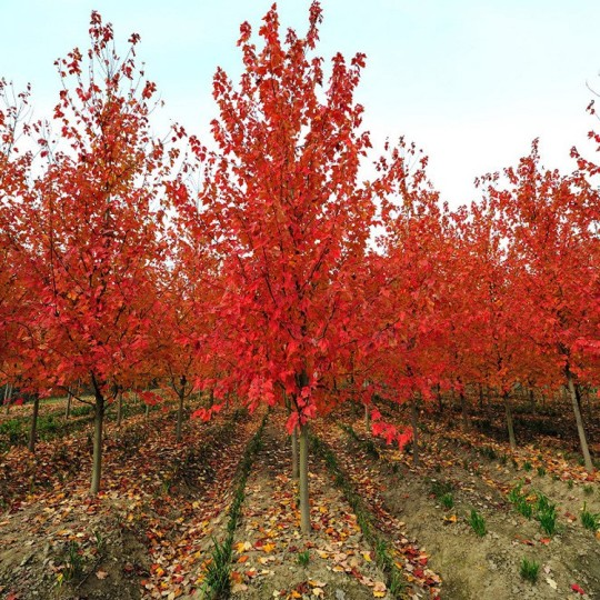 15公分美国红枫价格  美国红枫基地
