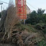 6公分冠幅木槿价格  江苏木槿基地