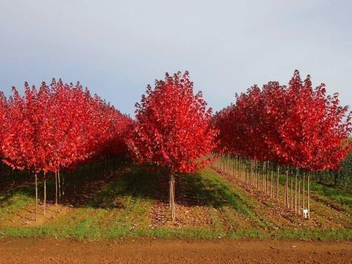 5公分日本红枫价格 日本红枫基地