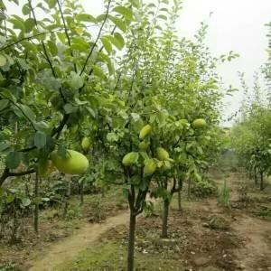 5公分木瓜树价格 湖北木瓜树基地
