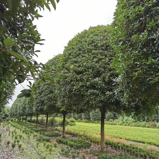 5公分桂花树价格 江苏桂花树基地